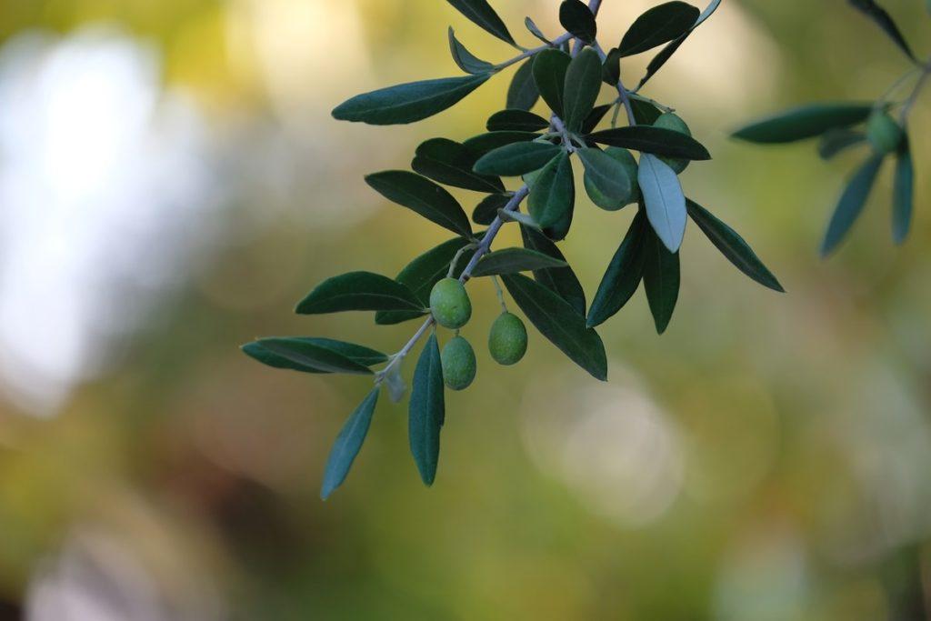Accueil olivier